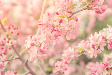 Flowering tree branches with pink flowers in sunlight