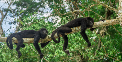 monkeys sitting on a tree in the rainforest by Tikal - Guatemala