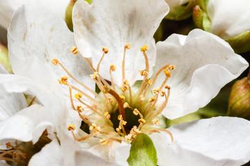 Detalle flor de cerezo, floración. Cerasus.