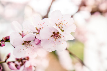 Almond-tree blooming white and pink flowers in spring