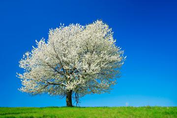 Großer alter Kirschbaum in voller Blüte unter blauem Himmel