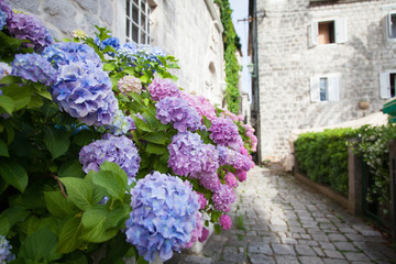 Foto op Aluminium Hydrangea Pink, blue hydrangea flowers are blooming in spring and summer at sunset in town garden.