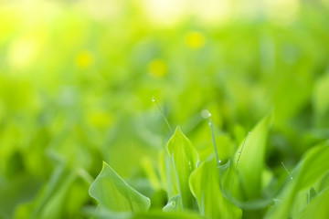 Leaves of a lily of the valley and grass in the dew, a saturated green spring fresh background