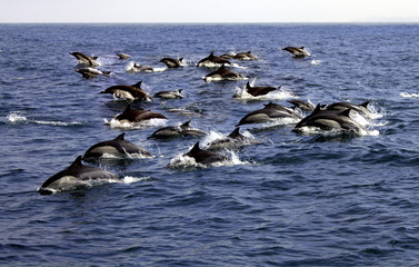 Large Pod of Pacific Common Dolphins