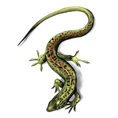 lizard top view crawling, sketch vector graphics color picture