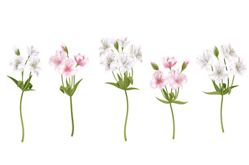 Flowers alstroemeria on a white background. Isolated delicate white and pink flowers, branches set. Vector illustration