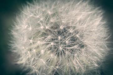 Detail of dandelion against blurred natural background. Close up shot. Film effect