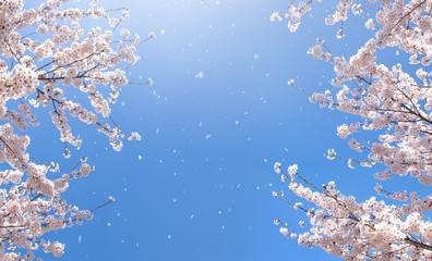 벚꽃 Fotobehang