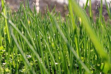 Green grass on the lawn closeup. Background texture Wallpaper