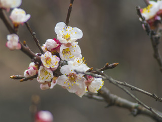 Blooming tree apricot branch with white flowers