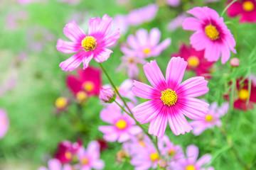 Cosmos Flower field, spring season flowers