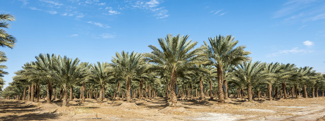 Panoramic view on plantation of data palms. Date palms have an important place in advanced desert agriculture in the Middle East