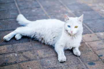 white Cat with a different eyes color