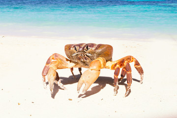 Hairy leg mountain crab, Tachai island, Phang Nga Province, Thailand