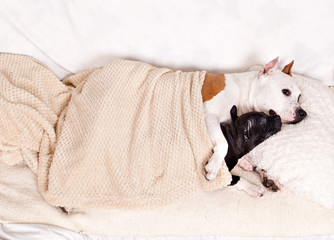 dog breed american staffordshire terrier bitch and her puppy sleeping together