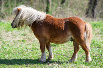 Beautiful Pony with long hair in. Pony is a small horse