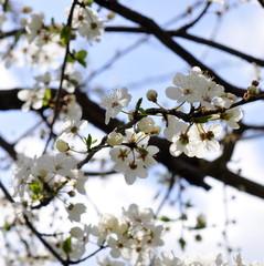 Fleurs de prunier, printemps