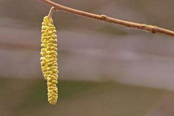 Closeup of hazel catkins during spring