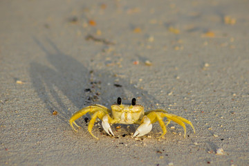 Ghost crab at dawn