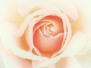 soft pale pink rose