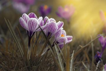 Fototapeta krokusy, crocus,flower,kwiaty obraz