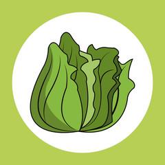 lettuce healthy fresh image vector illustration eps 10