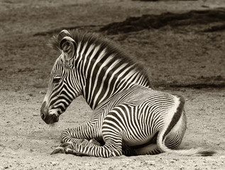 Young zebra at rest in sepia tones