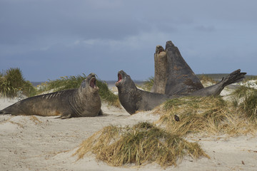 Southern Elephant Seals (Mirounga leonina) testing their strength against each other in the tussock grass on Sealion Island in the Falkland Islands.