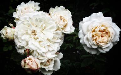 white roses on dark background