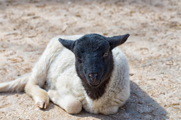 Black and white sheep is lying in the sun and enjoys the warmth