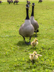 Geese and goslings are enjoying family life on grass
