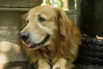 Beautiful golden retriever dogs