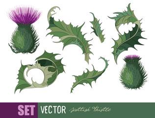 Thistle. Onopordum acanthium. Scottish Thistle