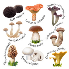 collection of various species of edible mushrooms. Realistic style