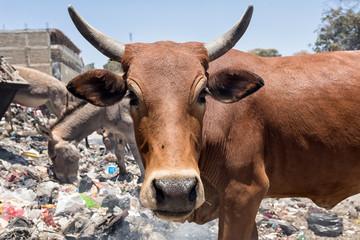 Cow garbage dump