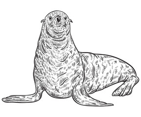 Seal animal. Vintage vector illustration in sketch style