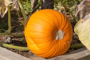 Riesenkürbis im Gemüsebeet