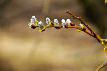 Pussy willow branch on early spring