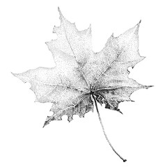 Illustration with a large black-and-white maple leaf on a white background.  Image for your design projects: banners, business, cards, posters, textiles