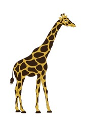The giraffe on white background
