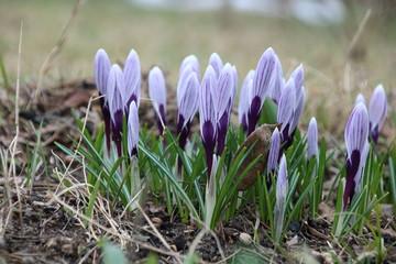 Aluminium Prints Crocuses purple crocus flowers in spring