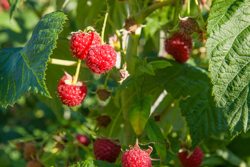 Close up of the ripe and unripe raspberry in the fruit garden. Growing natural bush of raspberry. Branch of raspberry in sunlight.
