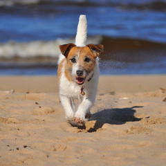 Jack russell terrier on a beach
