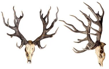 Schomburgk's deer head skull isolated on white background, Extinct animals Wall mural