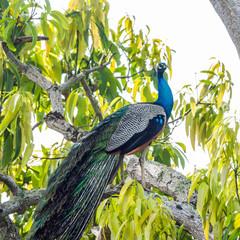 Male Indian Peafowl (Pavo cristatus) on a big tree branch