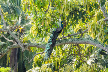Male Indian Peafowl (Pavo cristatus) in natural habitat. Jungle forest in Sri Lanka.