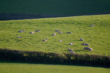 Wall Mural - Landscape with sheep graze on a farmland in Blackdown Hill AONB (Area of Outstanding Natural Beauty) in Devon, England
