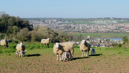 Herd of sheep graze on the farmland in Axe Valley around town of Seaton in Devon