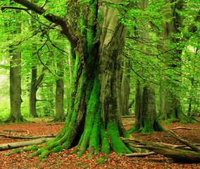 Unberührter Wald, riesige knorrige Buchen, mit Moos bedeckt