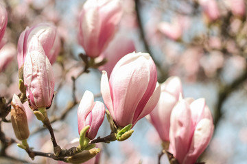 Flowering Magnolia. Spring. Flowering trees. Heat. Pink flowers.